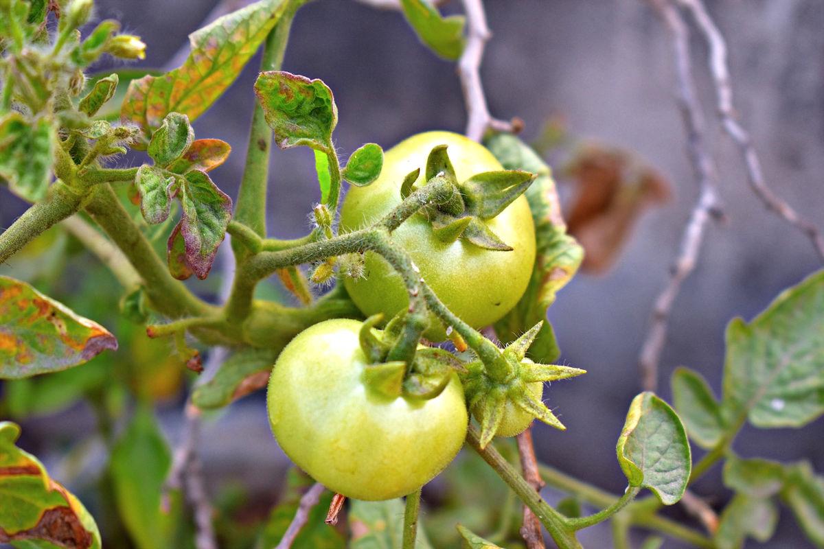 причины заболевания томатов