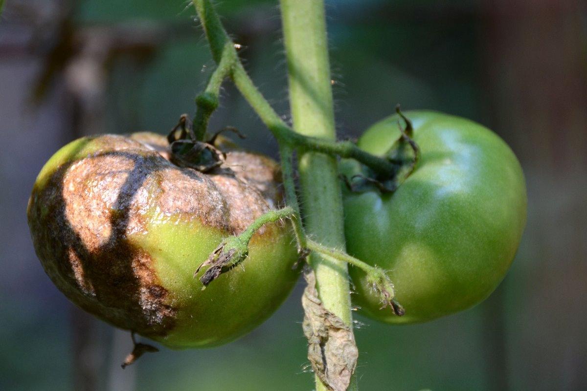 виды болезней томатов