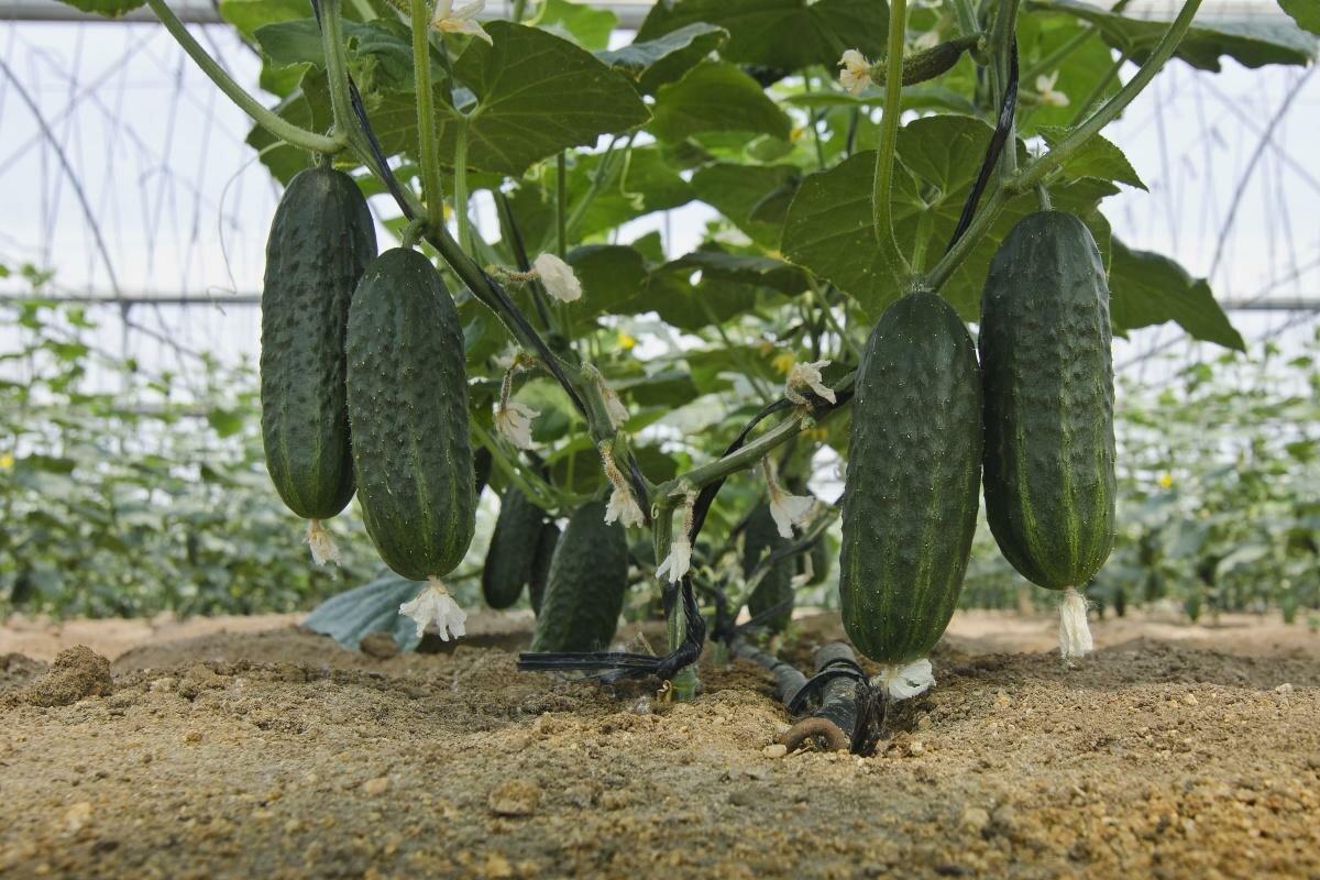 удобрение плодоносящих огурцов