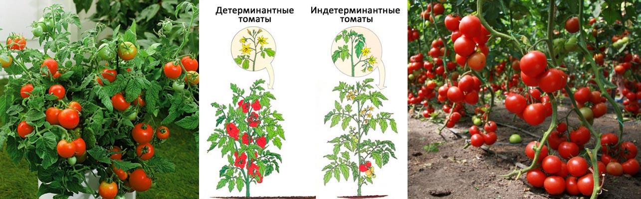 отличия разных сортов помидор