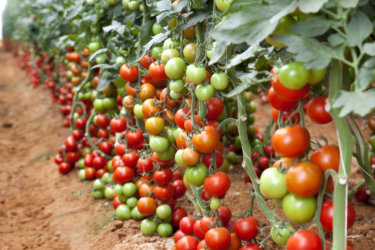 супердетерминантный сорт помидор