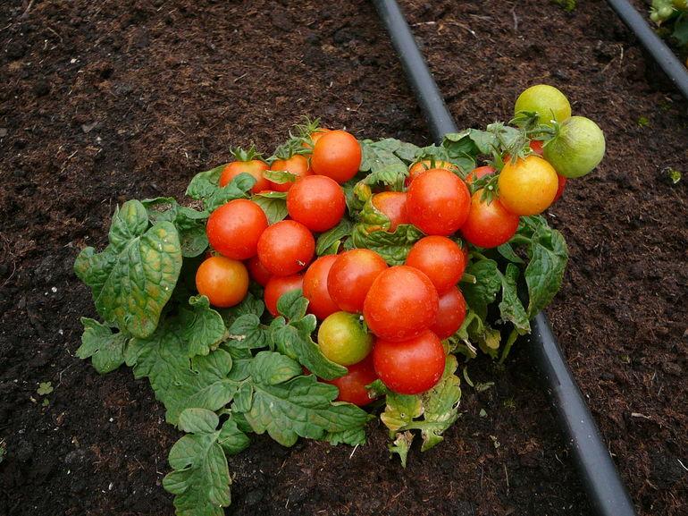 виды и сорта помидор