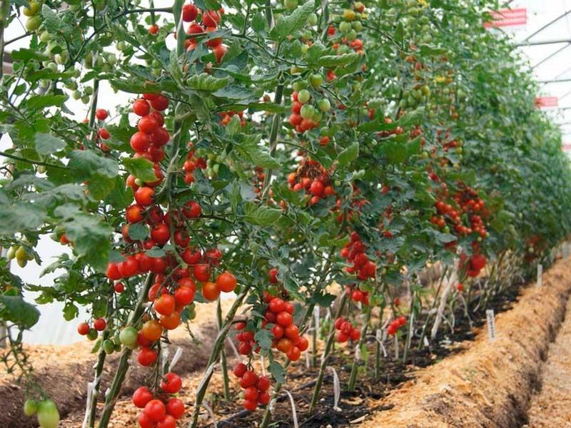 высокорослый сорт томатов