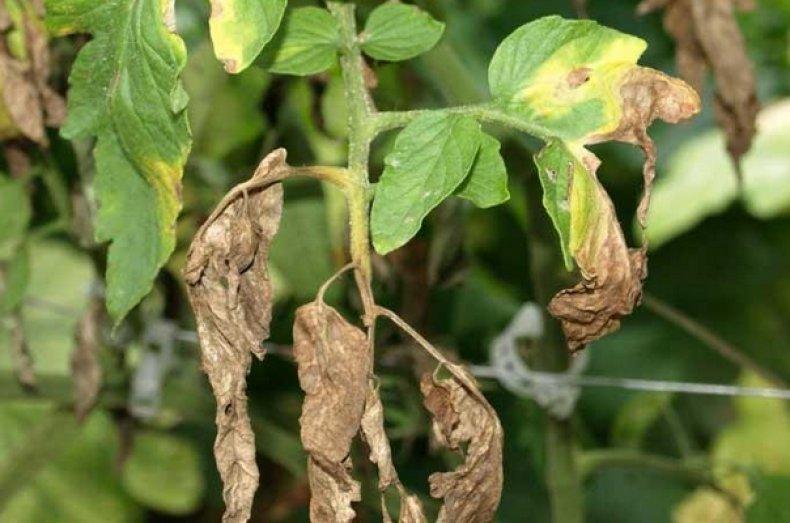 фузариоз на рассаде томата