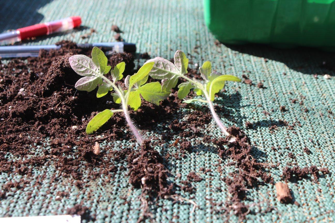 грунт для рассады томата