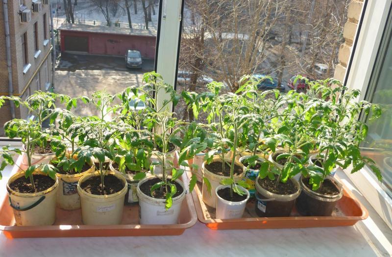 правила полива рассады томата