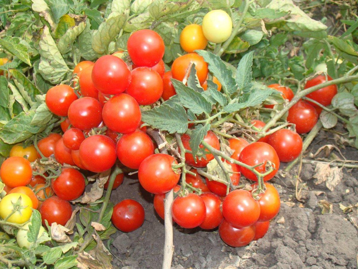 карликовые сорта помидор