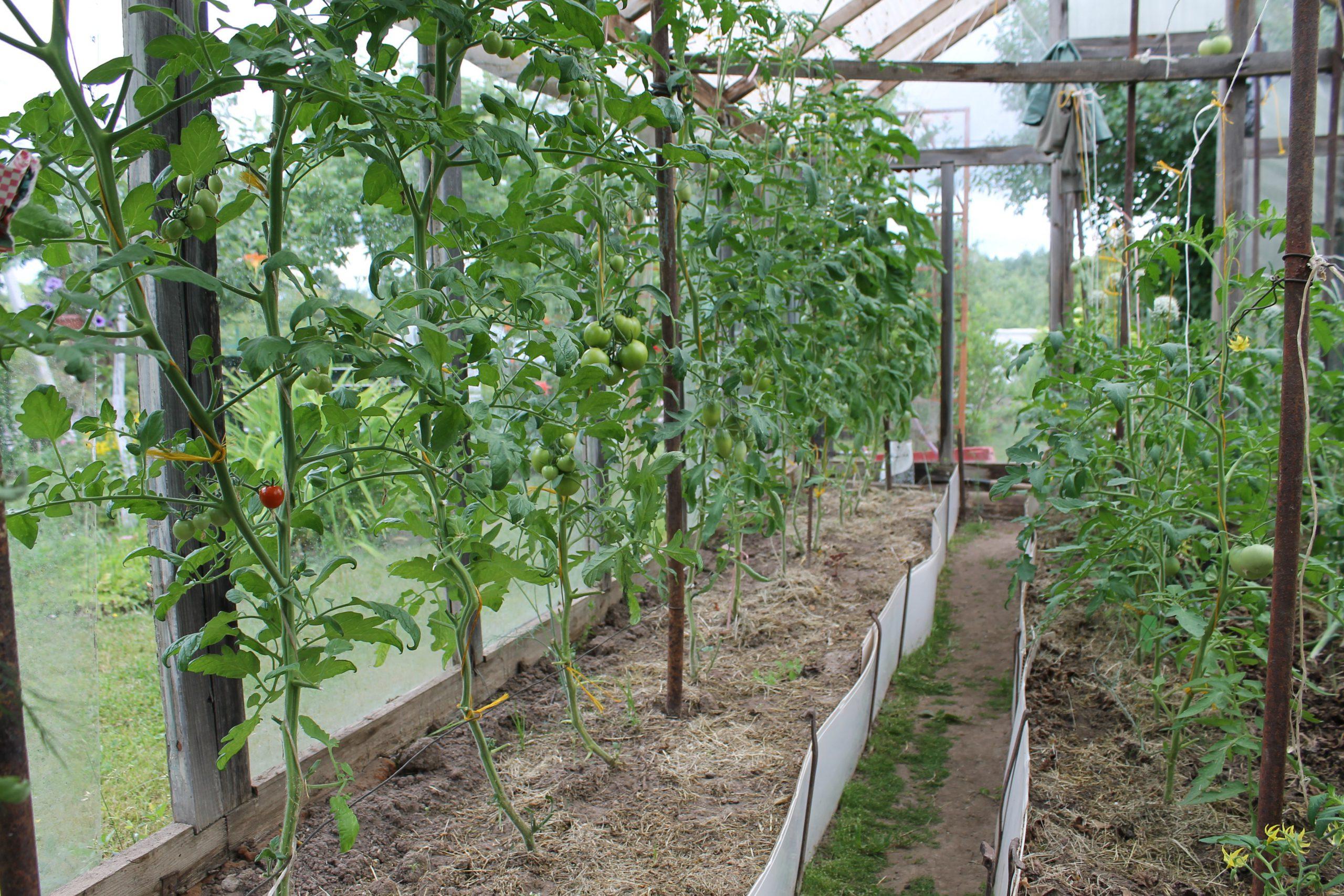 шпалерный способ подвязки помидор