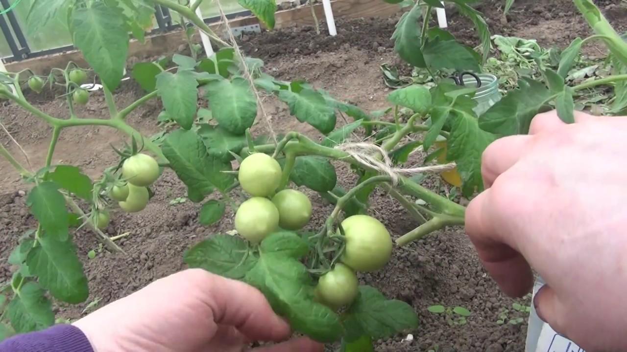 способы подвязки томата