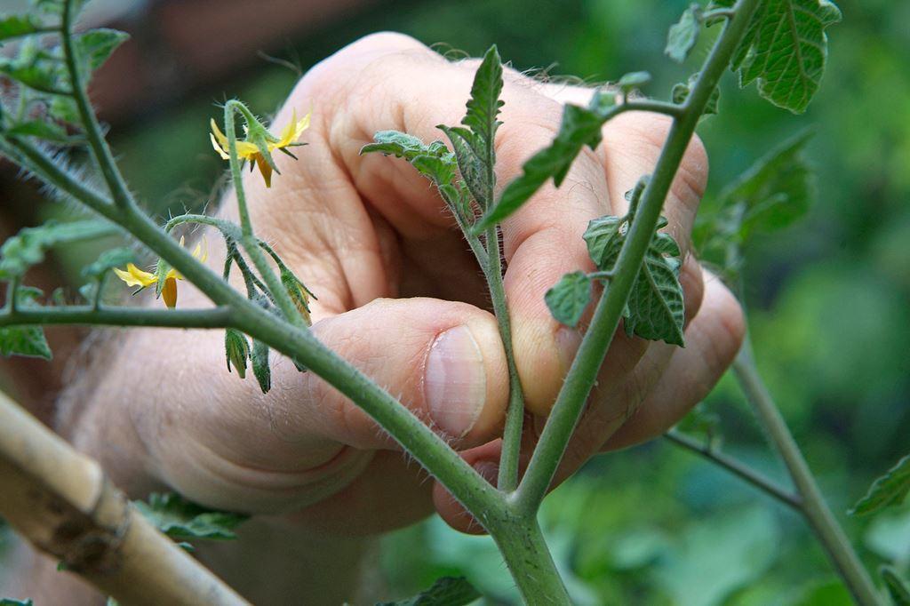пасынкование побегов томата