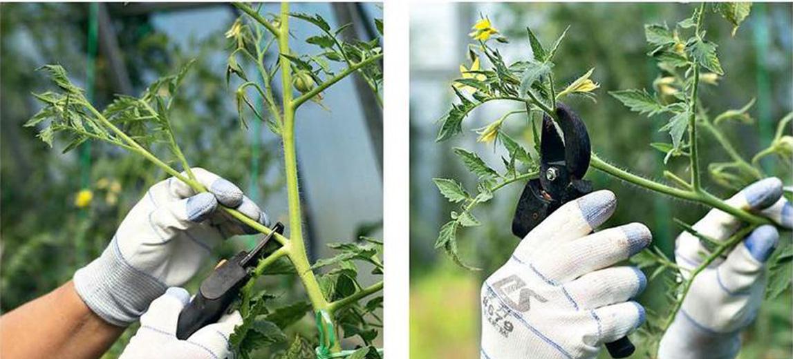 способы прищипки томата