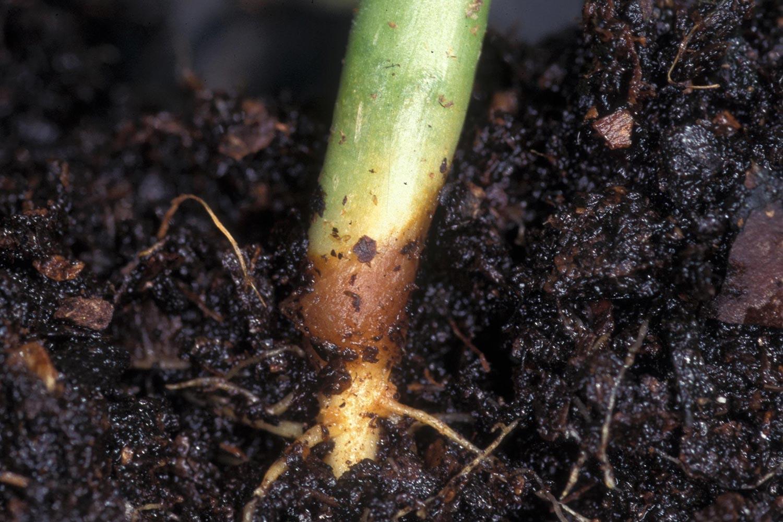 корневая гниль на рассаде томата