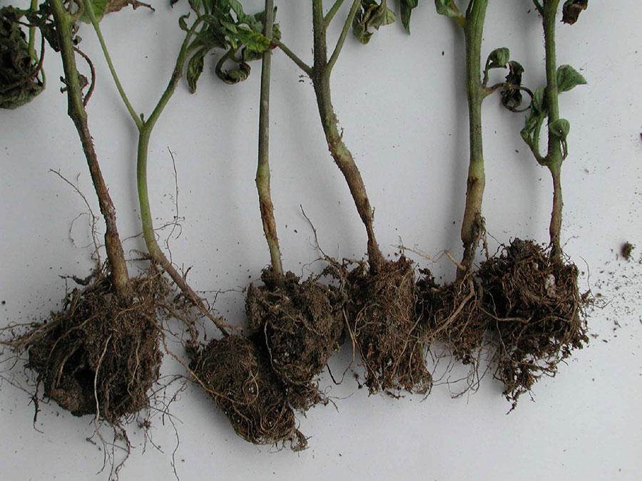 черная ножка на рассаде томата