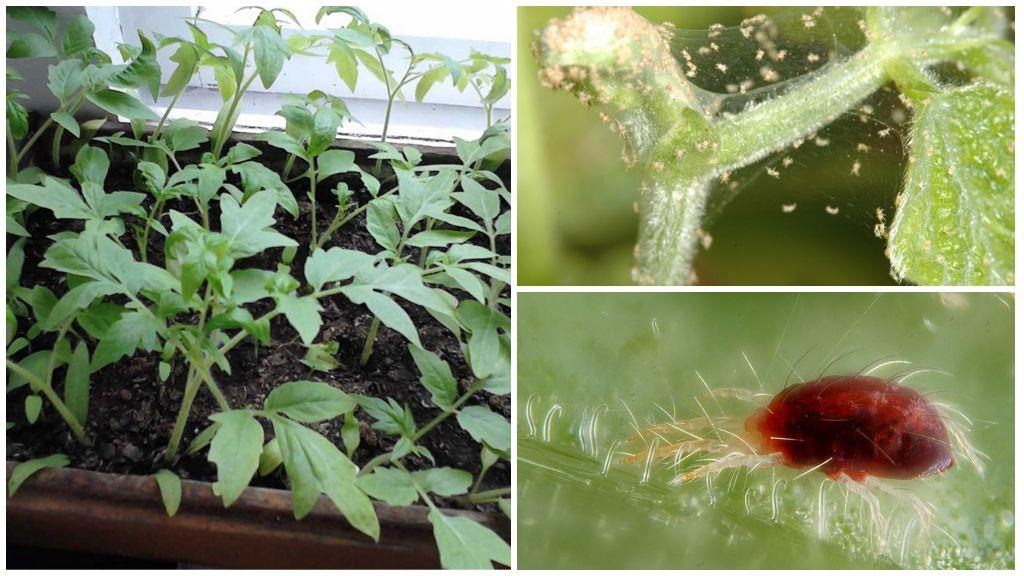 паутинный клещ на рассаде томата