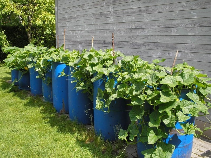как выращивать огурцы в бочке