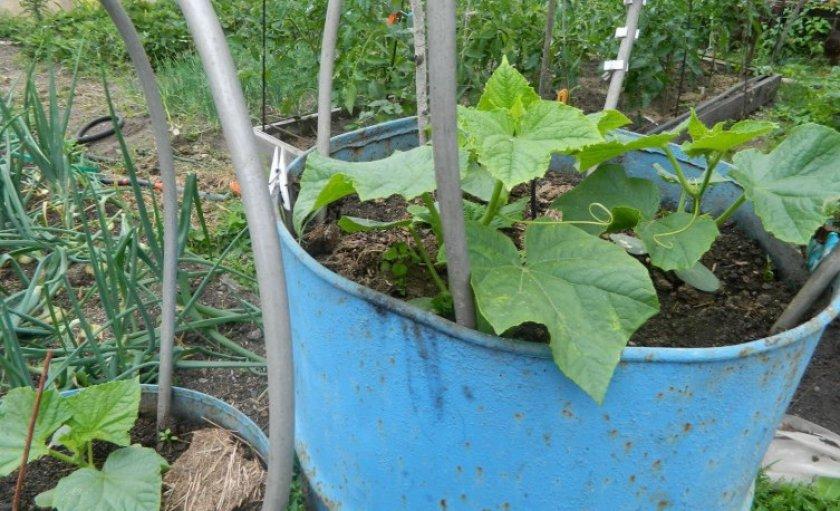 технология выращивания огурцов в бочке
