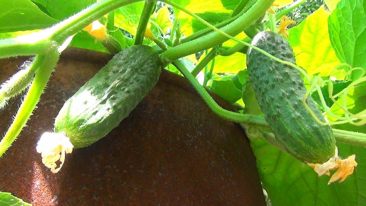 сорта огурцов для выращивания в бочке