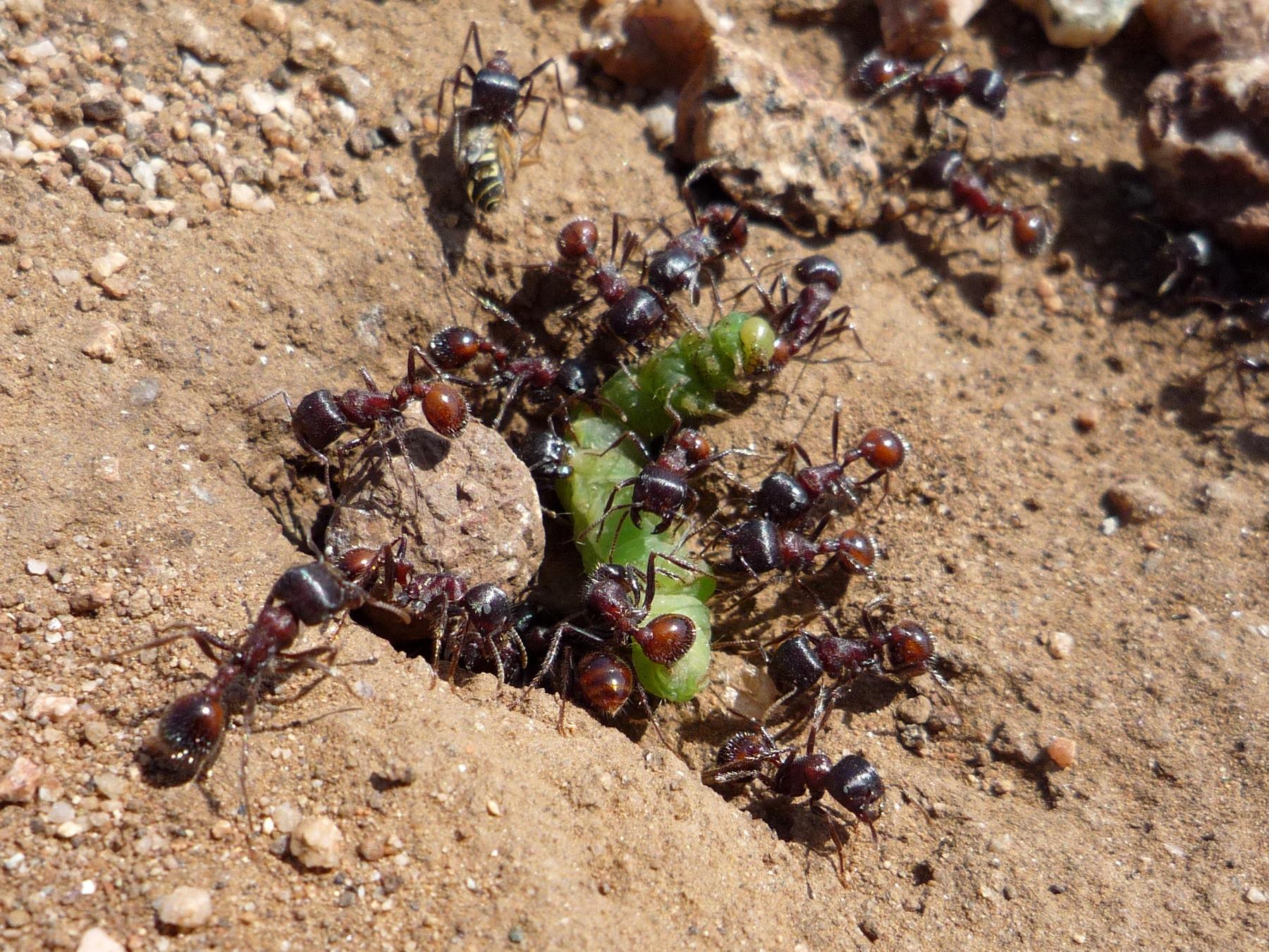 муравьи рядом с огурцами