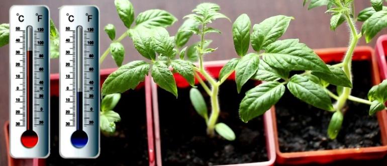 температура для рассады помидор