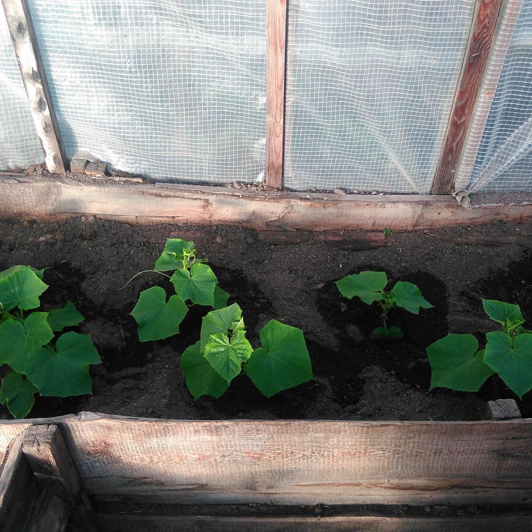 плюсы выращивания в теплице
