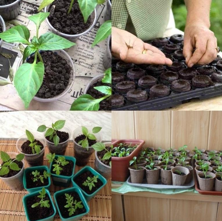 посадка семян томата в контейнеры