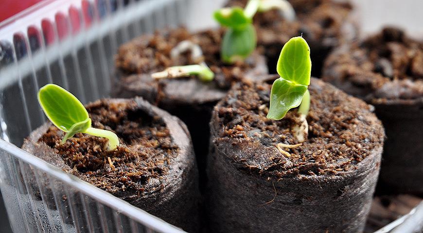 проращивание семян в торфяных таблетках