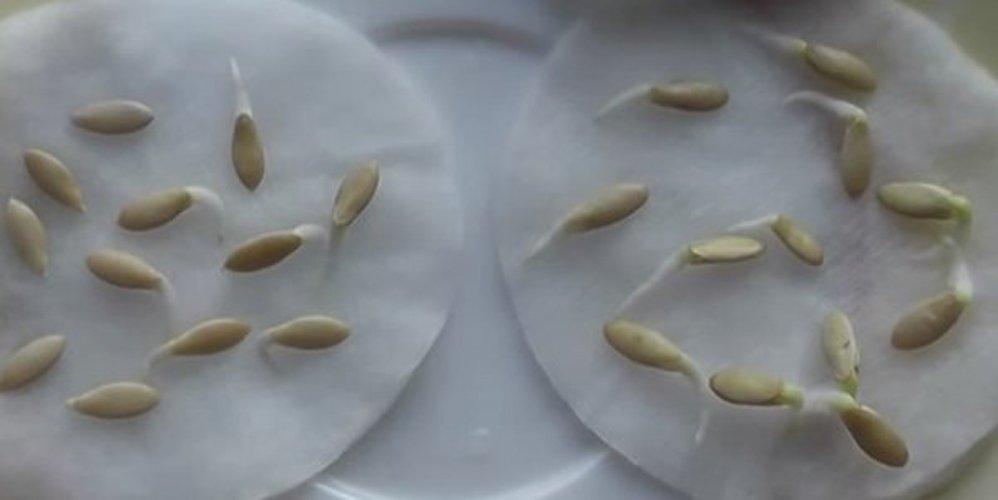 проращивание семян на влажной ткани