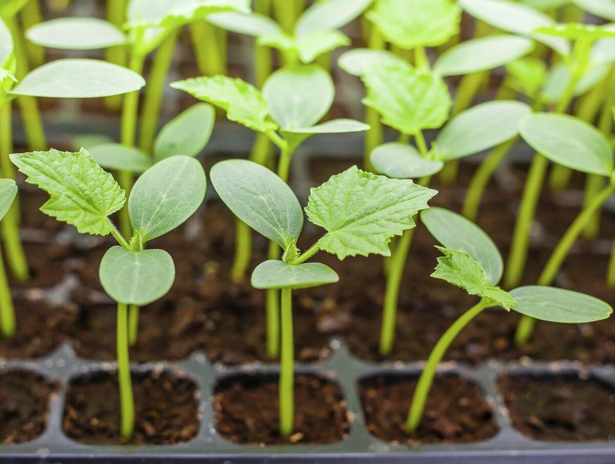 выращивание семян с кассетах
