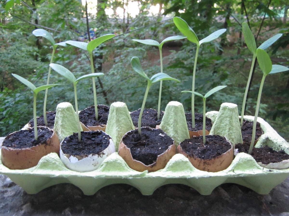 вытягивание ростков огурца