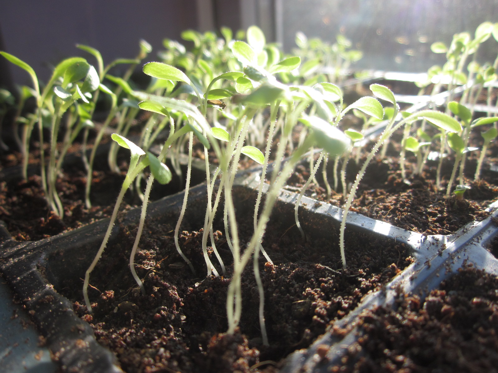 причины вытягивания рассады томатов