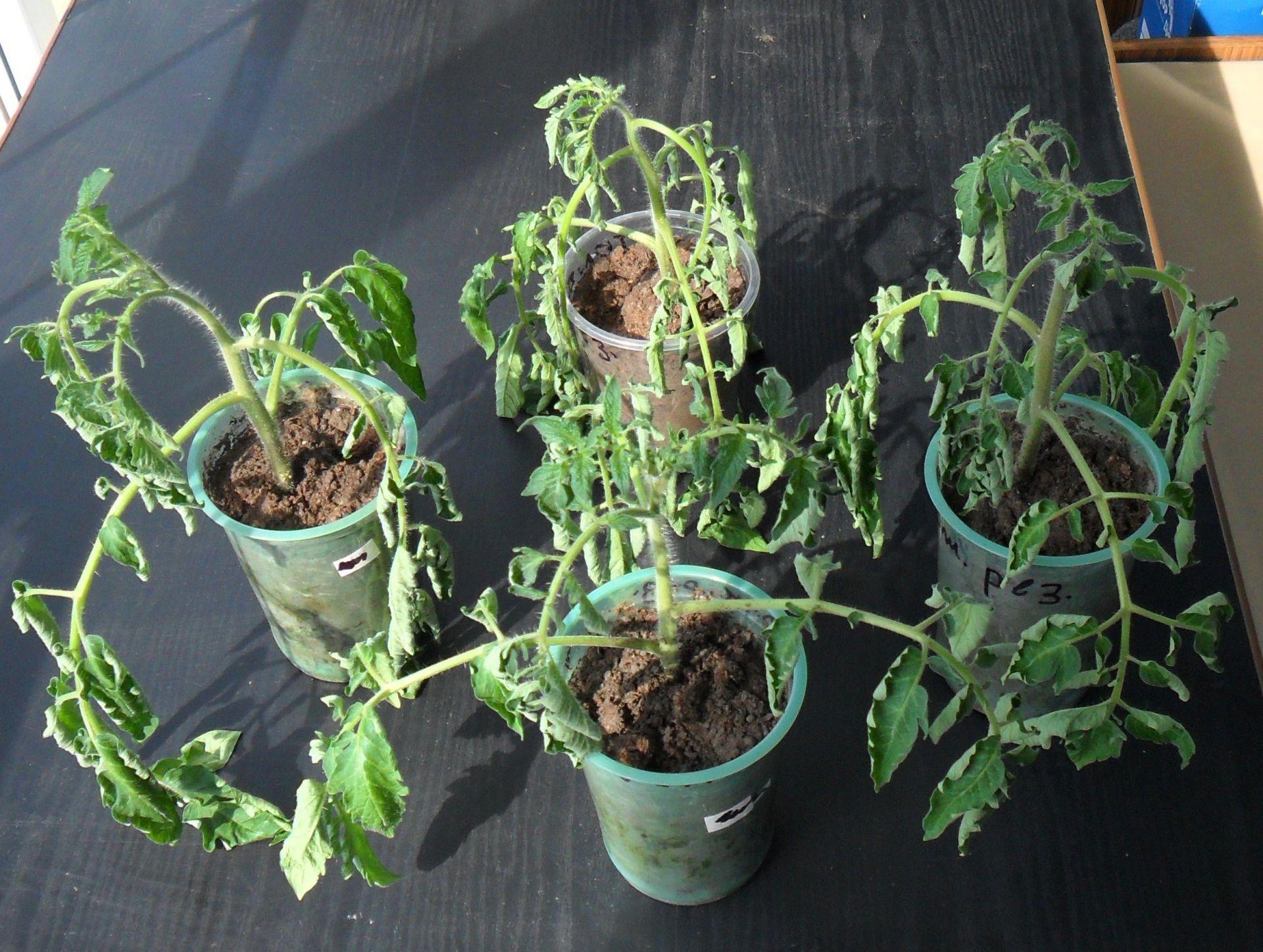 причины гибели рассады томата