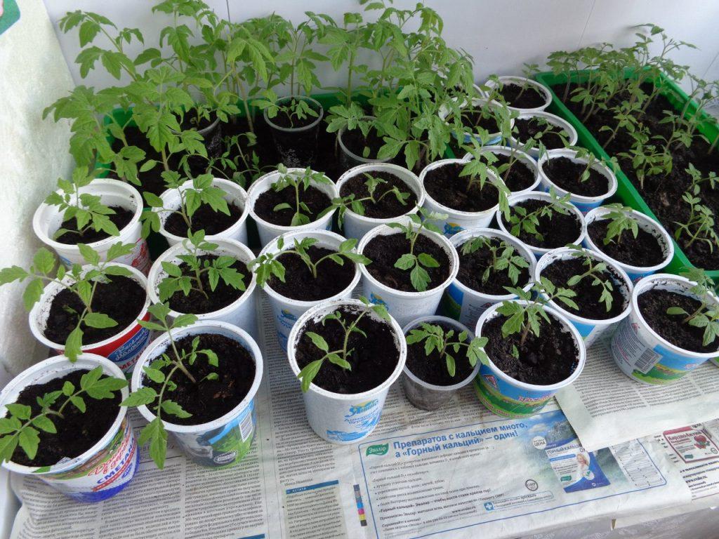 правильный уход за рассадой томата