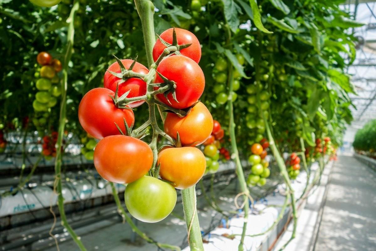 поздние сорта помидоров