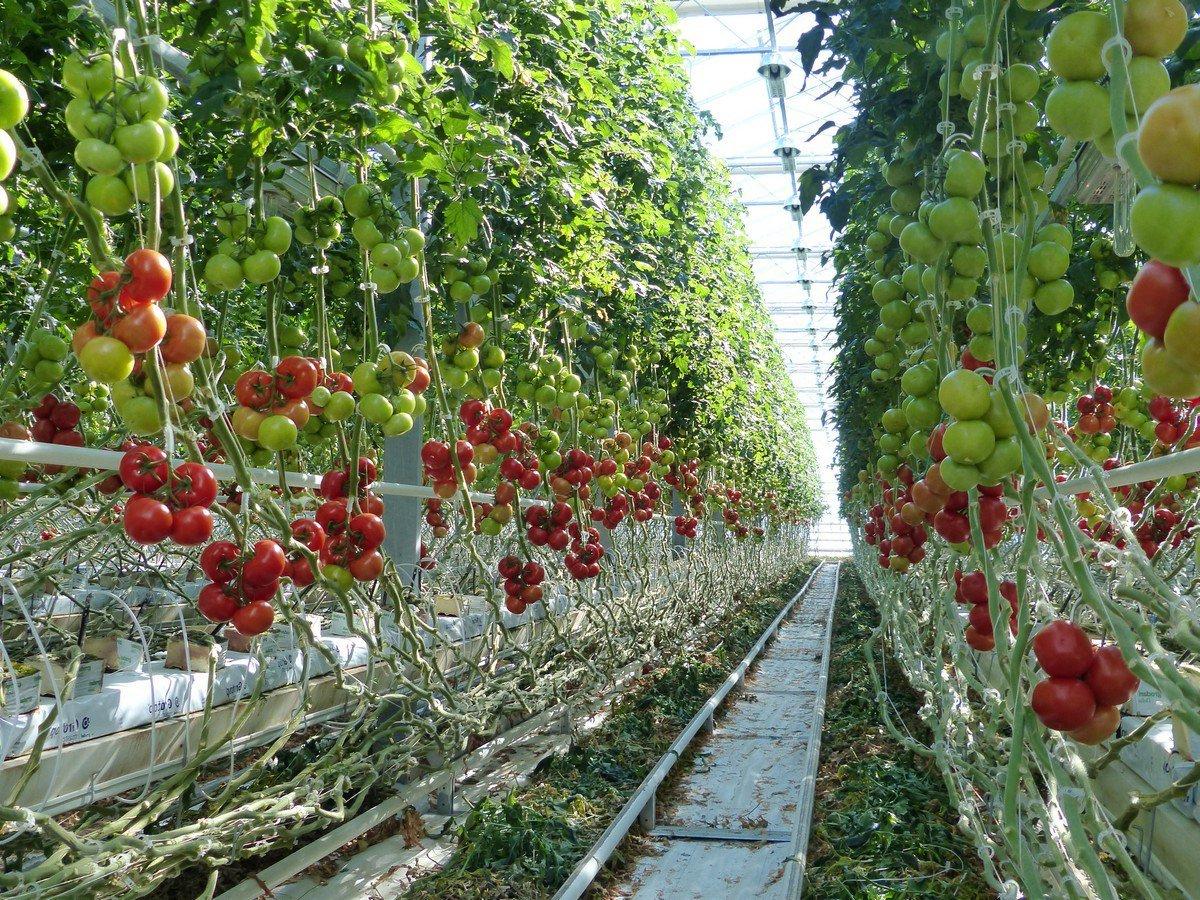 требования к тепличным сортам помидоров