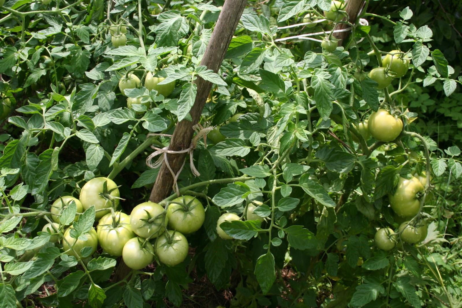 выращивание томатов белый налив