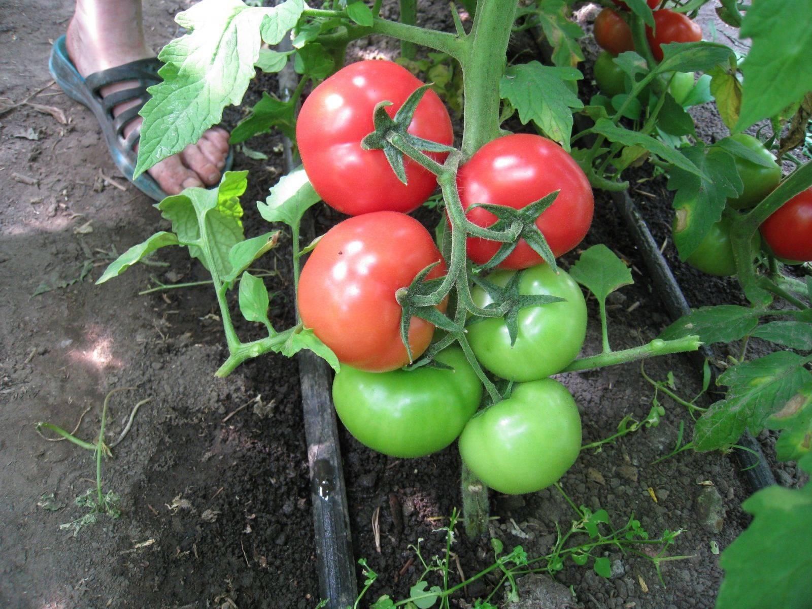 подкормка томатов удобрениями