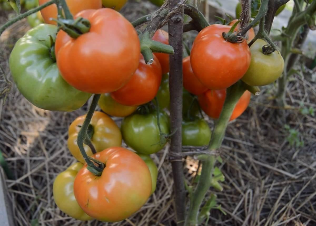 внешний вид томата белый налив