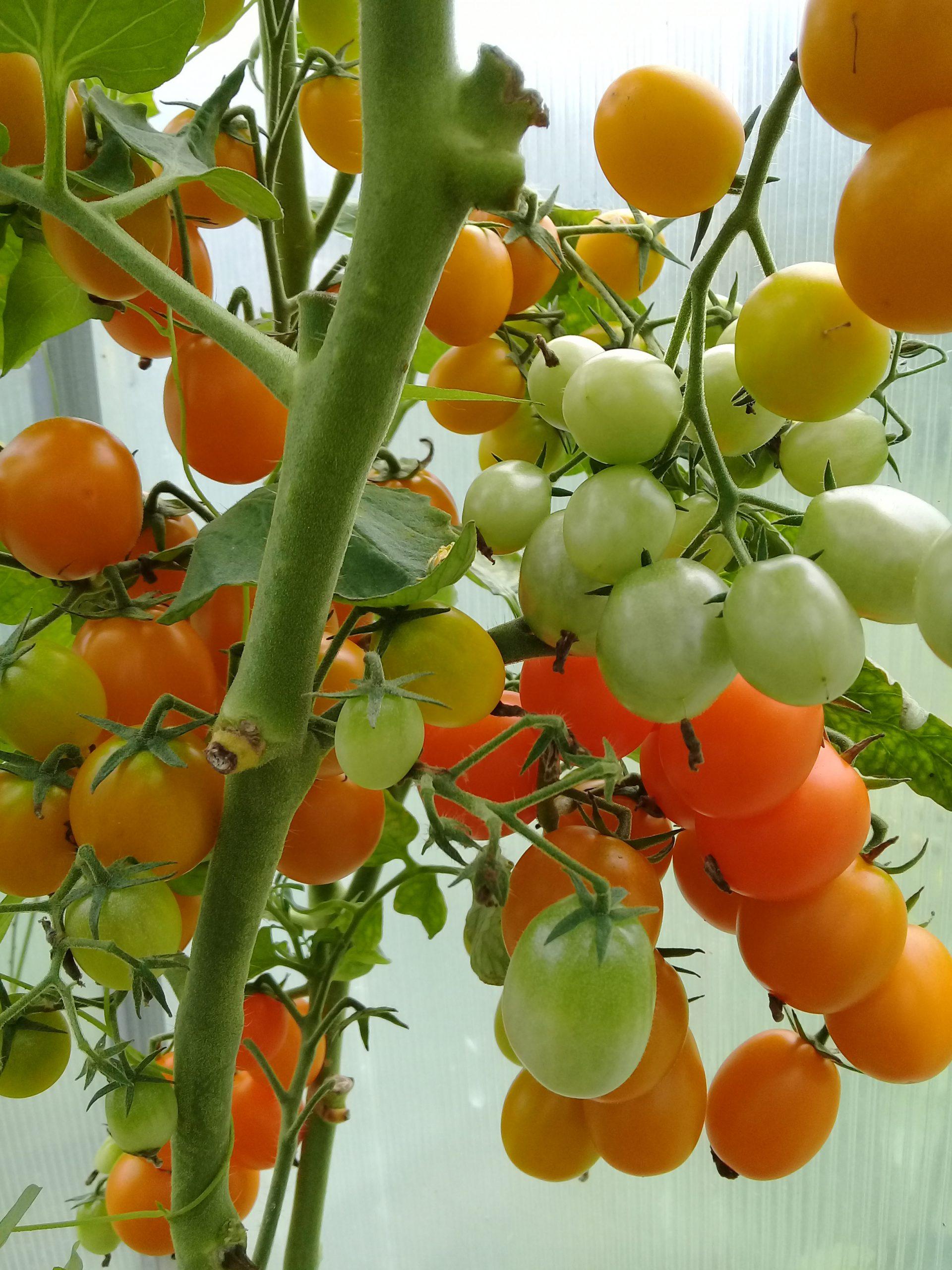 томат черри волшебная арфа