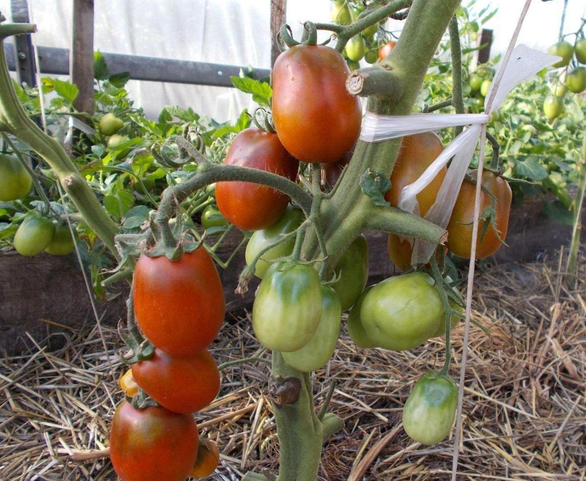 томат де барао уход