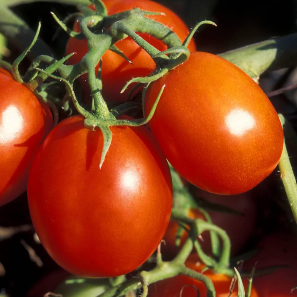 томат де барао происхождение