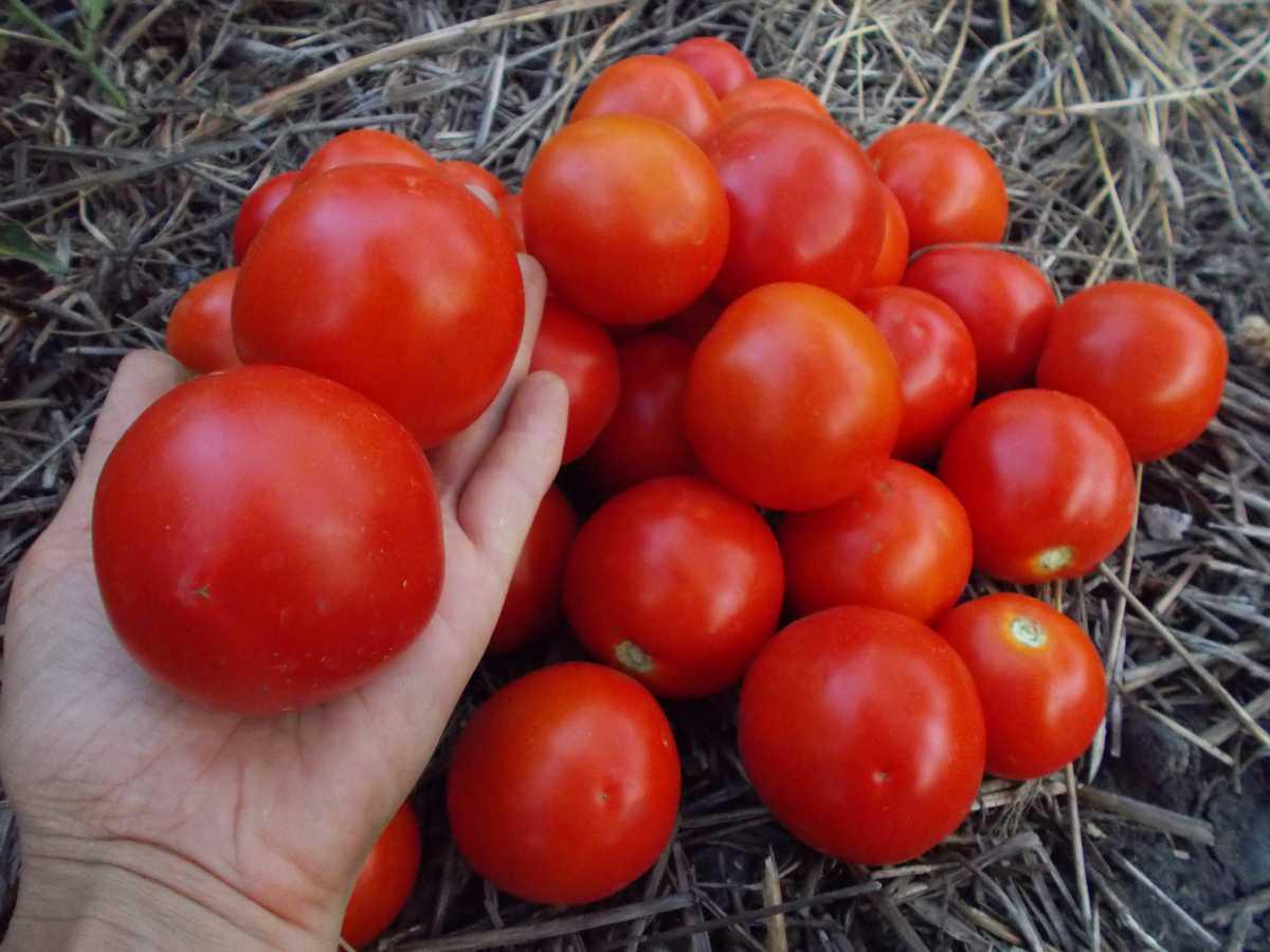 помидор джина происхождение