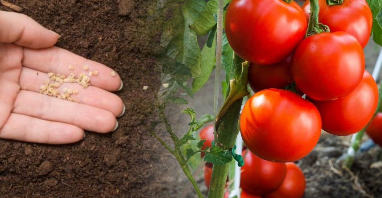 посадка семян помидоров
