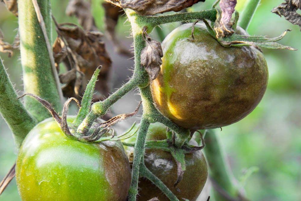 болезни томата Бычье сердце