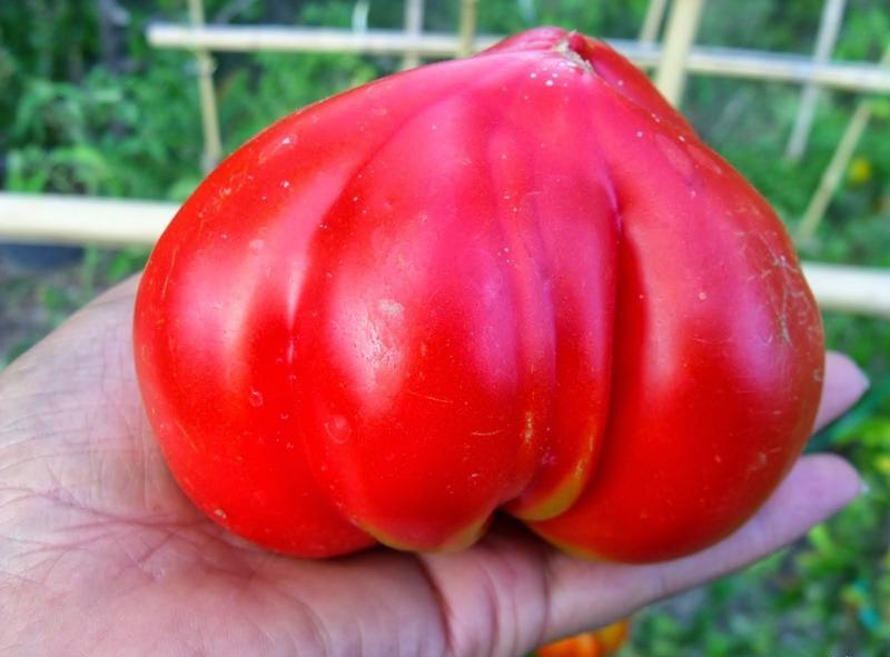 вес томата Бычье сердце
