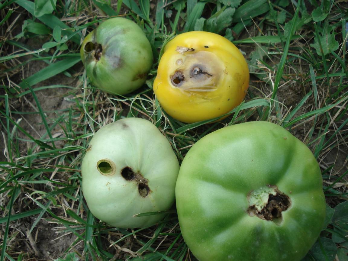слизни, жуки и гусеницы на томатах