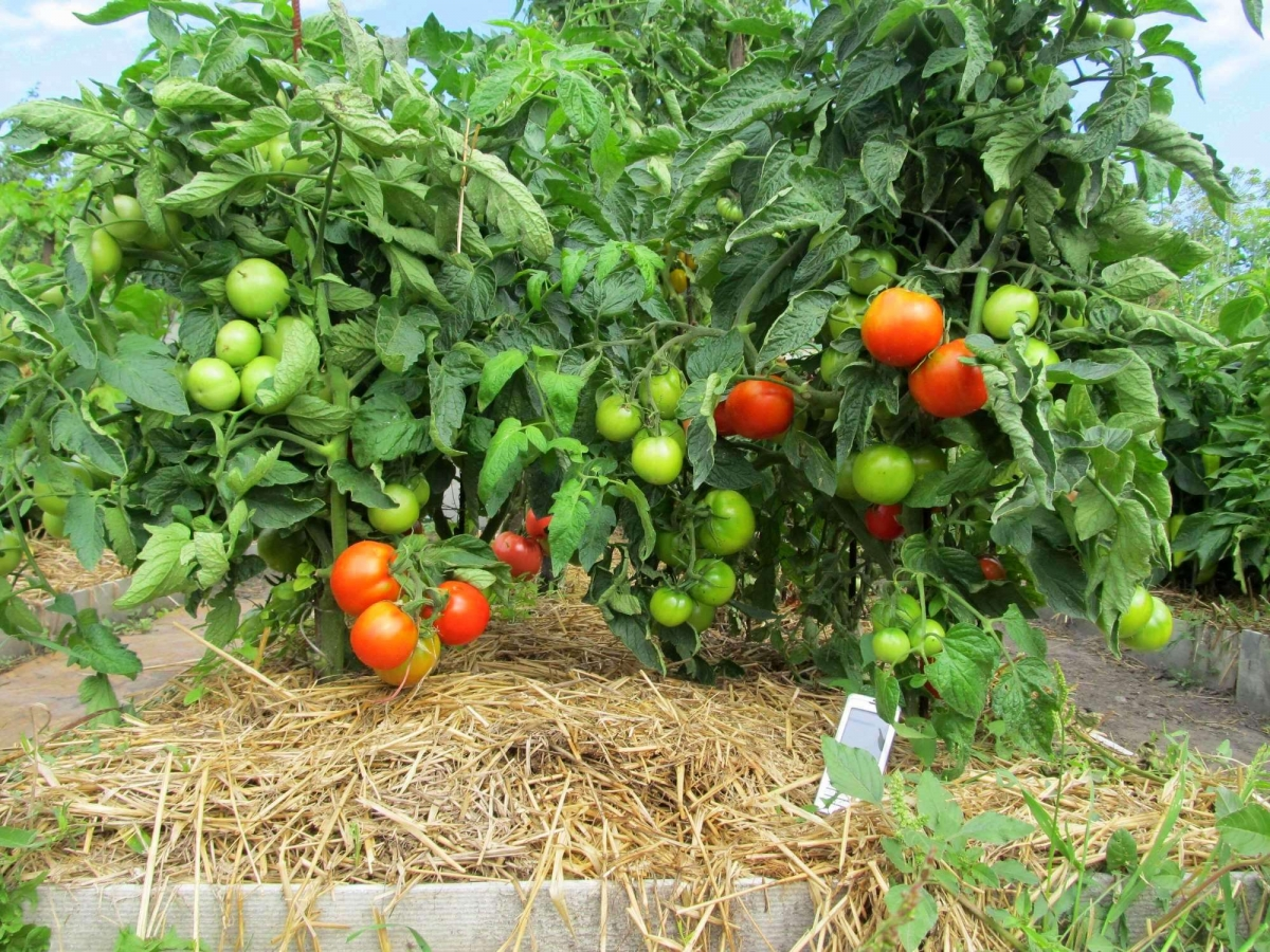 как вырастить помидоры сорта Любаша
