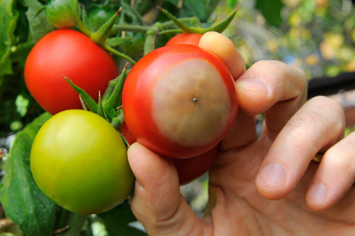 болезни томатов сорта Любаша