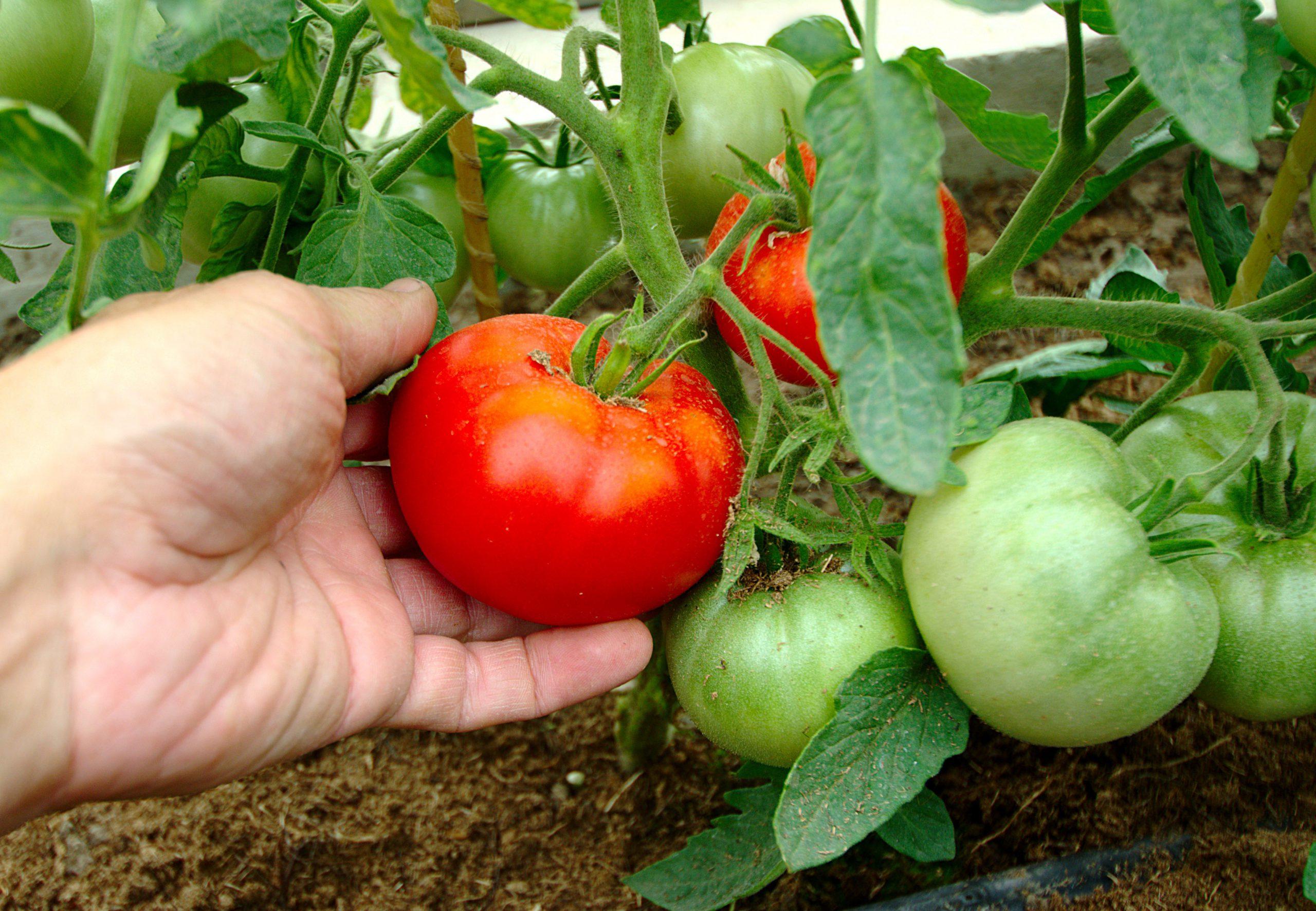 подкормка томатов сорта Сибирский карлик