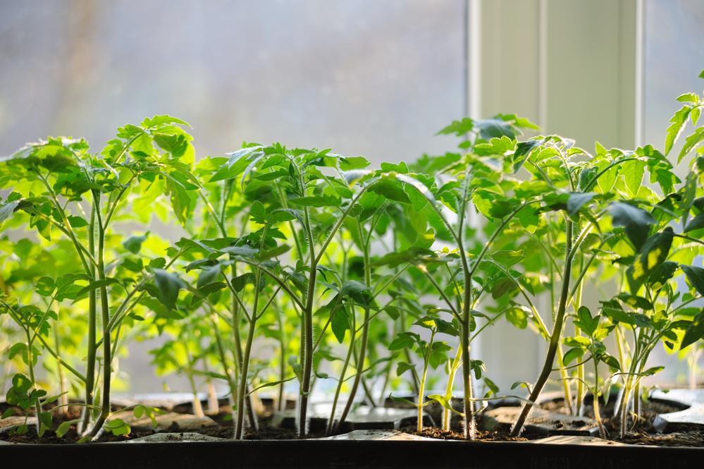 как ухаживать за рассадой томата