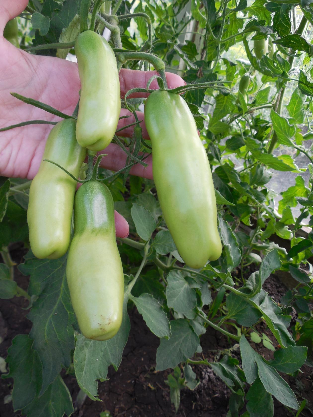 профилактика болезней томатов